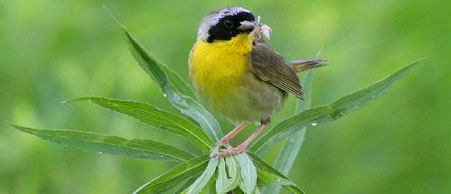 Common yellowthroat bird with a freshly caught insect. Photo: Jerry Kumery